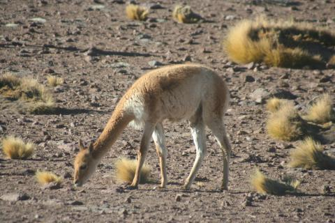 Long-necked alpaca studies the ground